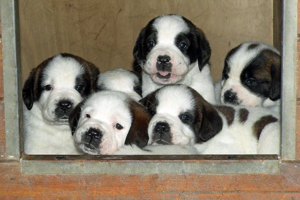 St. Bernard puppies of the Barry Foundation