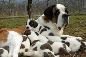 St. Bernard Ivoire with her puppies, Barry Foundation