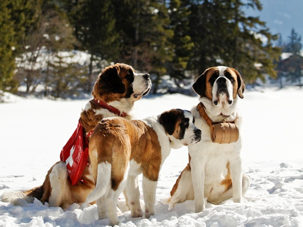 St Bernard dogs of the Barry Foundation